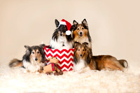 Christmas Shelties